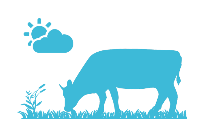 Friedliche Kuh auf der Weide zur Illustration des Mythos vieler Fleischesser, das Fleisch würde aus artgerechter Haltung stammen