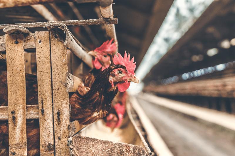 Hühner können in der Natur 5 bis 10 Jahre alt werden, in der Massentierhaltung erreichen sie nur einen Bruchteil davon
