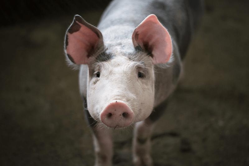 Schweine könnten 15 bis 20 Jahre alt werden, doch in der industriellen Tierhaltung verbleibt ihnen davon nur ein Bruchteil