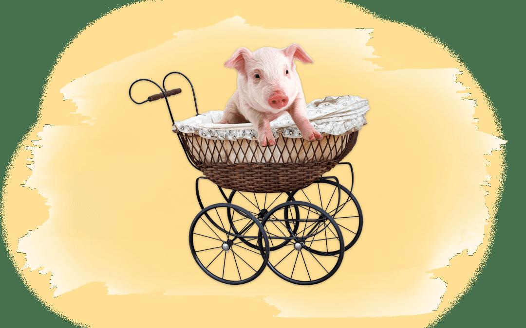 Schwein in Kinderwagen als Titelbild für Artikel über Lebenserwartung von Nutztieren