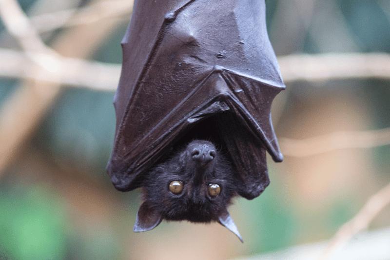 Die Fledermaus gilt als größtes Reservoir von zoonotischen Viren