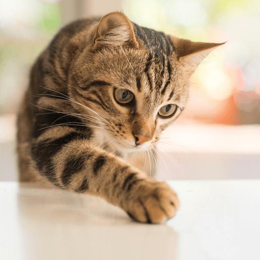 In manchen Ländern ist Katzen essen kein kulturelles Tabu