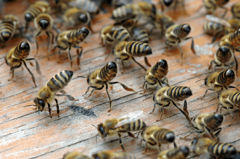 Bienen tanzen sich gegenseitig vor, wo geeignete Nahrung zu finden ist