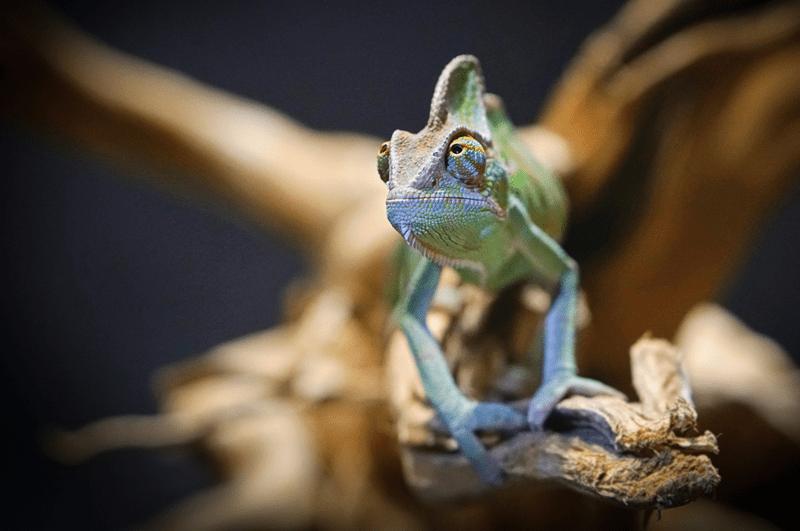 Einige Tiere können besser als Menschen sehen: Chamäleons haben einen 360-Grad-Rundumblick und können beide Augen unabhängig voneinander bewegen
