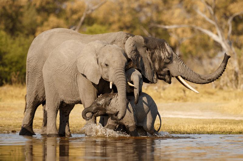 Viele Tiere können besser riechen als Menschen: Elefanten können über Kilometer hinweg Wasser riechen