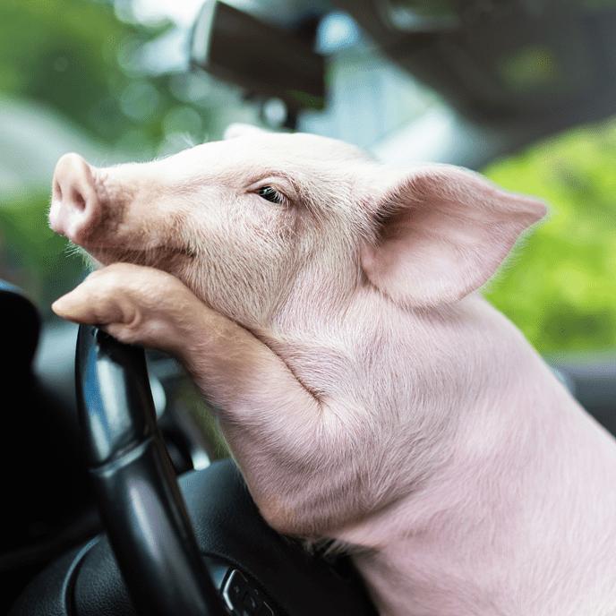 Ein Schwein in einem Auto als Illustration für das Wort Schlachtstau - mein Vorschlag für das Unwort des Jahres 2020