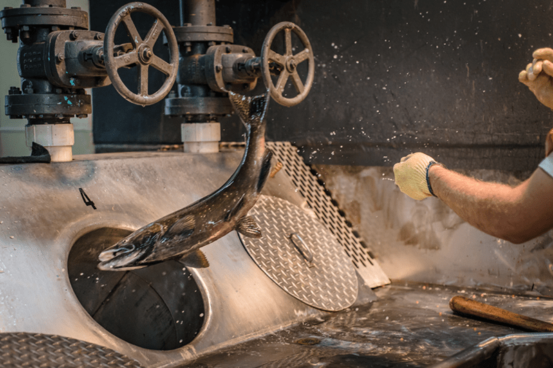 Lachse werden in der Aquakultur mit einem Röhrensystem nach Größe sortiert