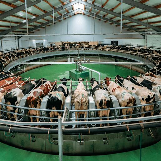 Die 'Milchleistung' von Kühen hat sich seit 1950 mehr als verdreifacht