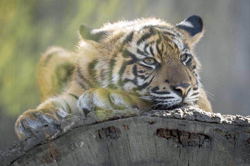 Sumatratiger als Illustration für das Problem des Artensterbens