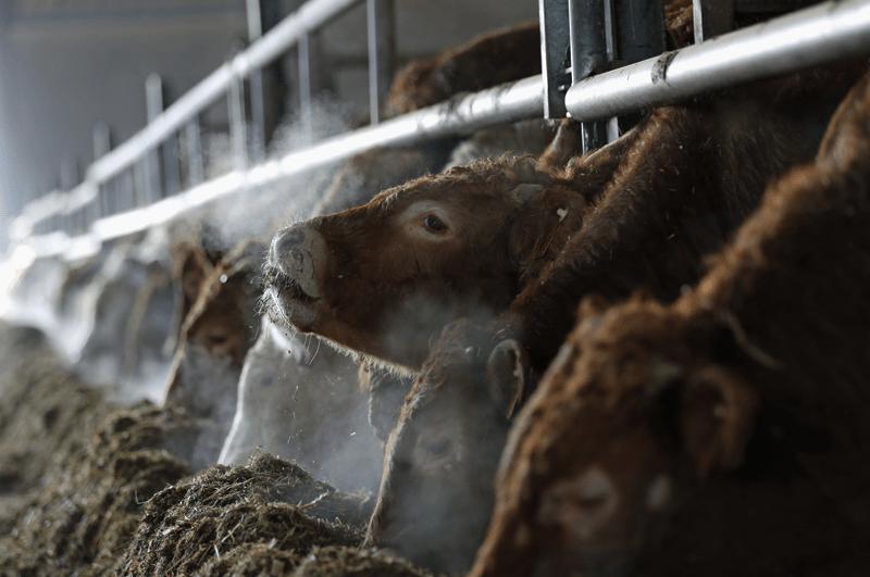 Ausatmende Kühe im Stall - Tierhaltung verschärft die Klimakrise