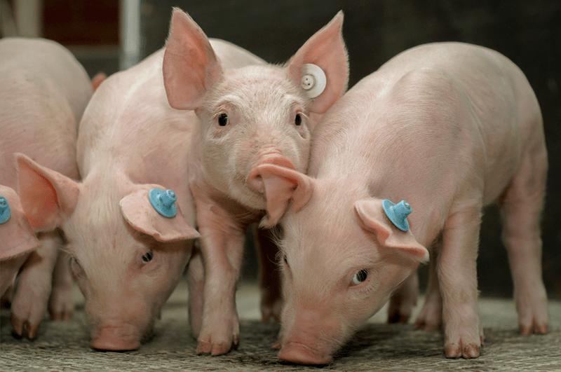 Schweine im Stall - das häufigste Argument für Veganismus ist Tierschutz