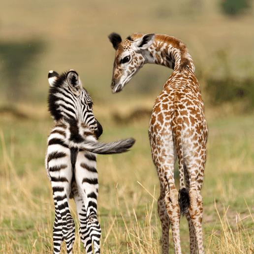 Zebra und Giraffe als Illustration für Artikel über Biomasse von Wildtieren und Biomasse von Nutztieren