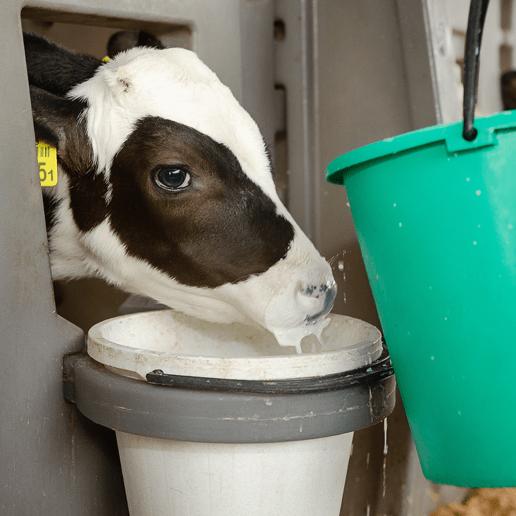 In der Weißmast werden Kälber bewusst eisenarm ernährt